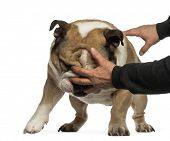 stock photo of disobedient  - Disobedient English Bulldog - JPG