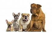 foto of dogue de bordeaux  - Dogue de Bordeaux and Bulldogs sitting and lying - JPG