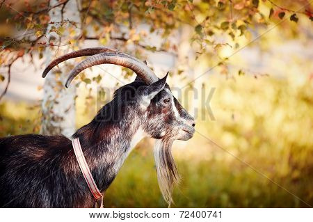 Portrait Of A Goat Under A Birch.