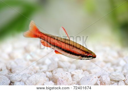 Coral Red Arc Pencilfish Nannostomus mortenthaleri Pencil fish