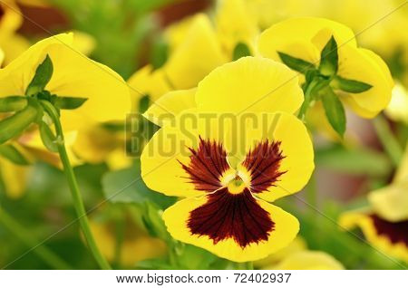 Yellow Viola Flowers In Garden