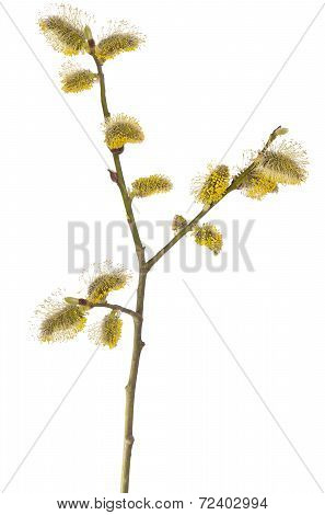 Salix Branch Isolated On White Background