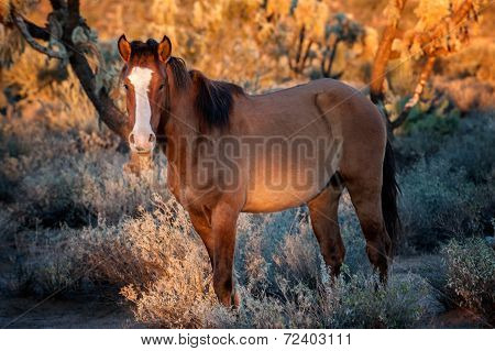 Wild Horse At Sunset In The Arizona Desert
