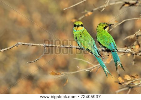 Swallow tailed Bee-eater - African Wild Bird Background - Beautiful Green Pair