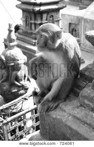 Hindu Rhesus Monkey - Nepal