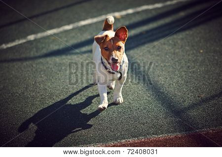young Jack Russel Terrier walking