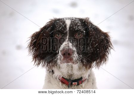 Liver And White Working Type English Springer Spaniel Pet Gundog In Winter Snow