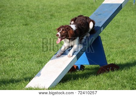 A Very Cute Springer Cross Collie Dog On Agility Equipment