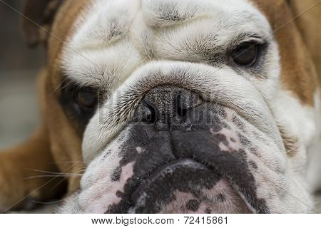 My angry bulldog spiky