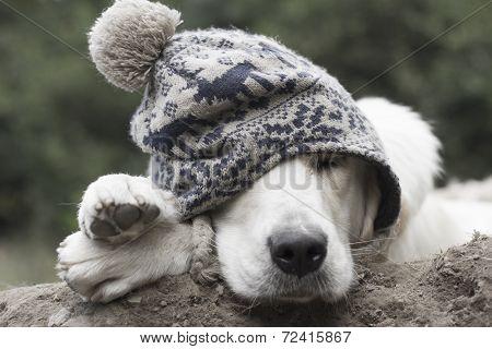 Sleeping puppy golden