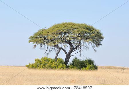 Camelthorn Tree Landscape