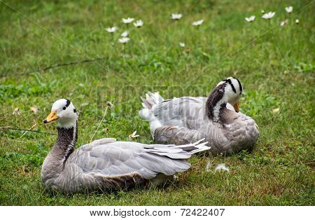 The Bar-headed Goose (anser Indicus)