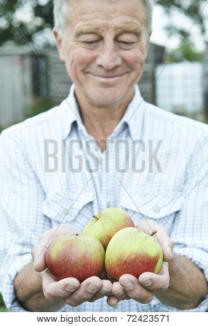 Senior Man On Allotment Holding Freshly Picked Apples