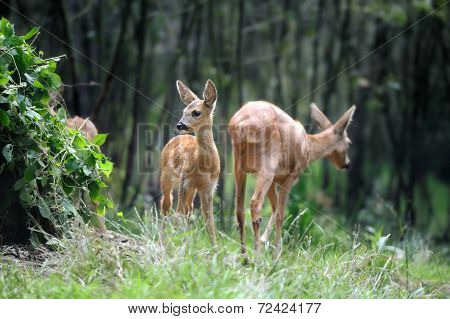 Young Deer In Forest