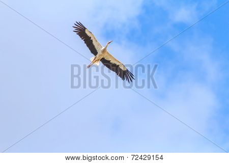 Flying White Stork on clear blue sky background