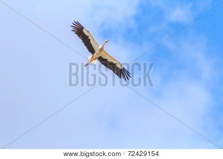 Flying White Stork on clear blue sky background