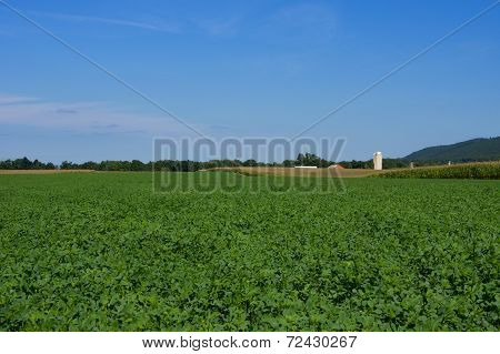 Alfalfa Fields