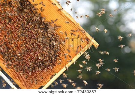 hardworking bees on honeycomb