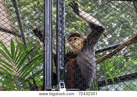 The Red-shanked Douc Langur In Cage