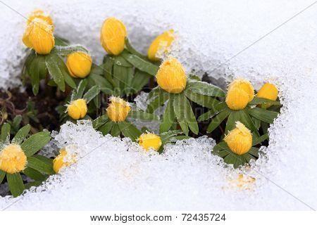 Winter Aconite  / Eranthis Hyemalis/ In Snow