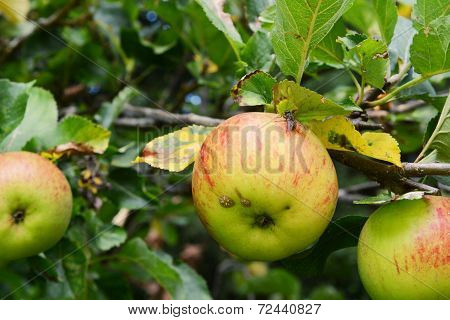 Fly On A Ripe Apple On The Branch