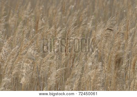 Reed swaying in the wind dry grass.