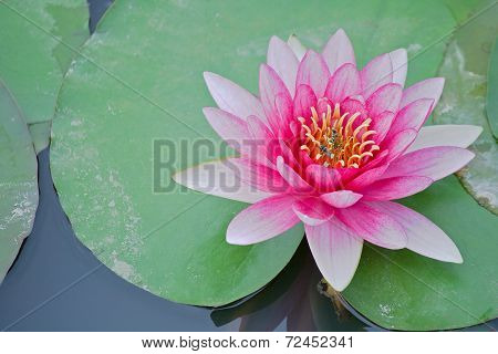 Red water lily and bees