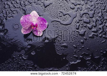 Orchid On A Black Background With Raindrops