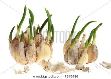 Germinate Garlic