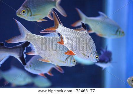Freshwater Fish In The Aquarium - Schwanenfeld's Tinfoil Barb