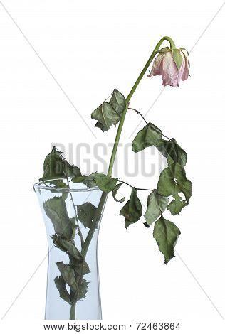 Dry Rose In A Vase.