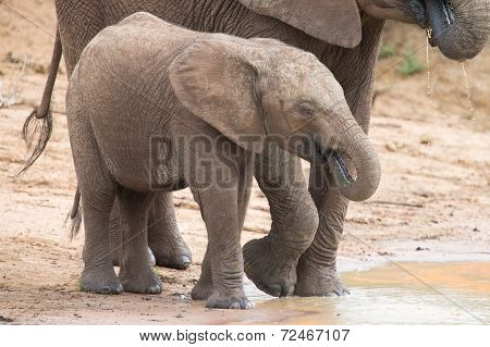 Elephant Family Drinking Water To Quench Their Thirst On Very Hot Day