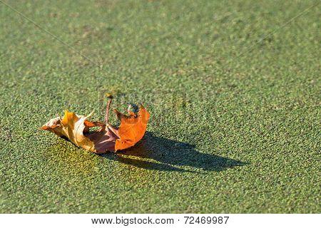 Autumn Maple Leaf Of Bright Orange Color
