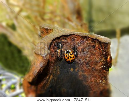 Ladybird beetle and larva