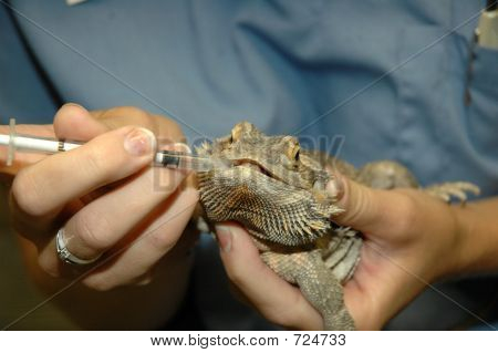 bearded dragon receiving oral meds