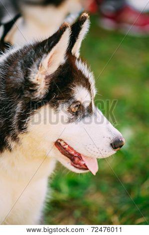 Close Up Young Husky Puppy Eskimo Dog