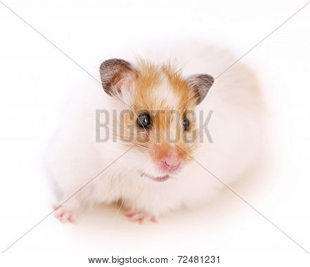 Cute Syrian golden with white hamster
