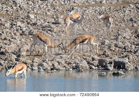 Springbok Rams Fighting