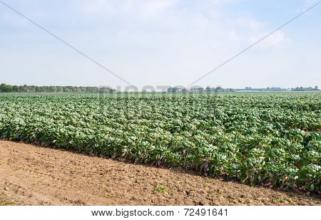 Partially Harvested Field With Brussels Sprouts