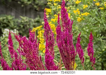 Magenta Colored Astilbe
