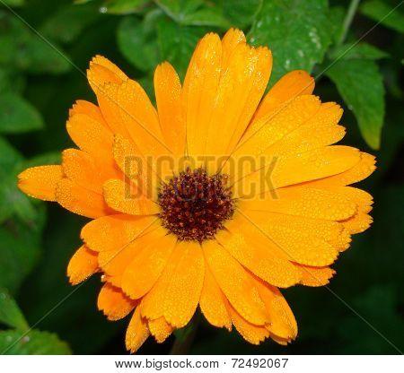 Calendula (marigold). Calendula officinalis, herb, orange flower