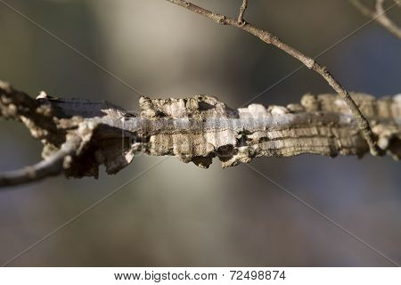 Winged Elm Tree Branch Details