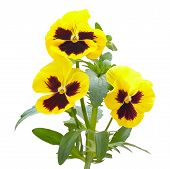 image of viola  - Yellow viola flowers isolated on white background - JPG