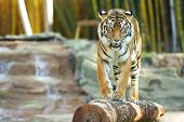 picture of tigress  - Large Bengal Tiger by itself outdoors in the Sunshine Coast - JPG