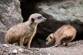 stock photo of meerkats  - Meerkats and their shelter - JPG