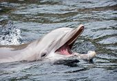 stock photo of cetacea  - Bottlenose dolphins the genus Tursiops are the most common and well - JPG