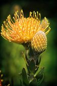 image of nod  - Magnificent Pincushion Protea Nodding Pincushion or Yellow Bird flowering in the garden. Botanical name Leucospermum cordifolium