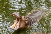 pic of saharan  - The hippopotamus (Hippopotamus amphibius), or hippo, is a large, mostly herbivorous mammal in sub-Saharan Africa