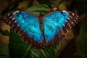 pic of blue butterfly  - Peleides blue morpho butterfly also known as Morpho peleides  - JPG