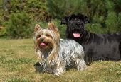 stock photo of schnauzer  - Yorkshire Terrier and Big Black Schnauzer Dod on the lawn - JPG